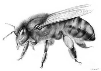 The Honey Bee by gregchapin