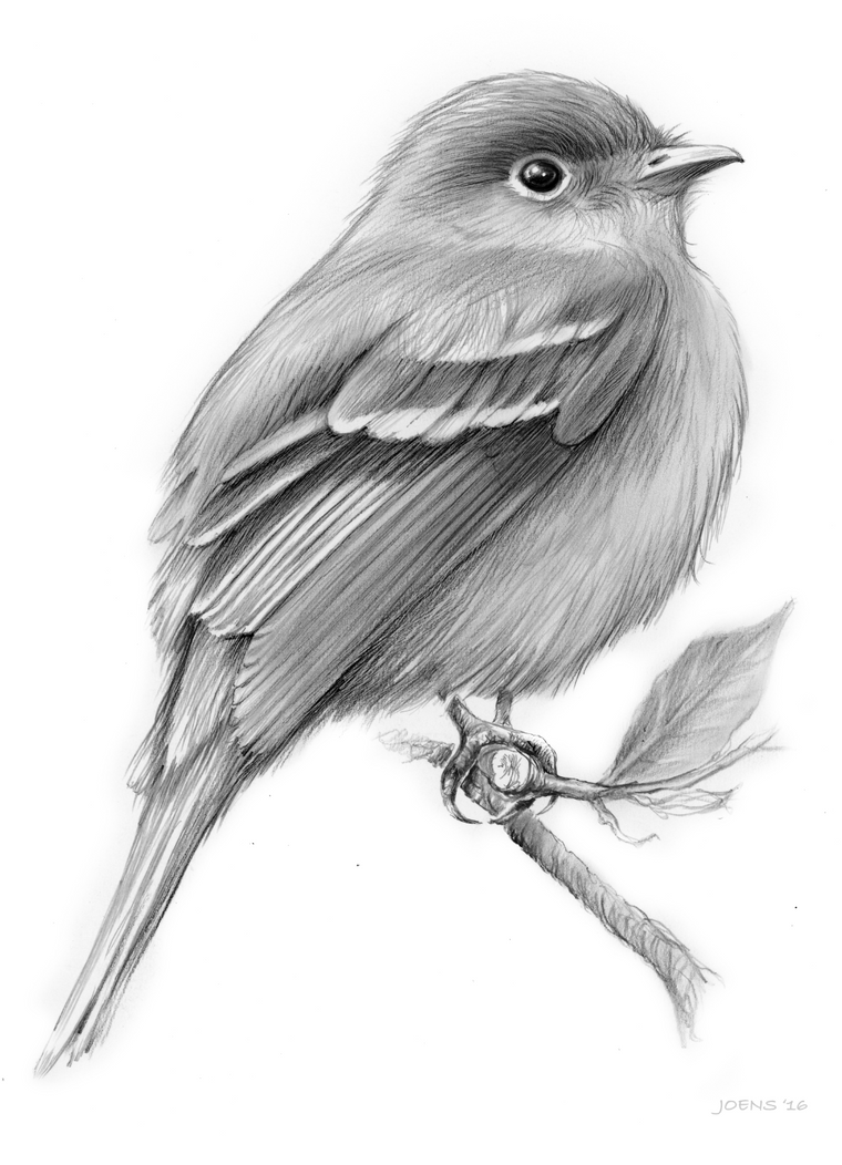 Line Drawing Of Animals And Birds : Least flycatcher bird by gregchapin on deviantart