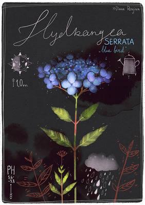 Botanica IV: Hydrangea serrata 'Blue bird'