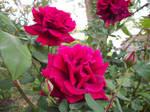 Praising Spring Roses