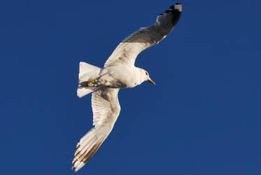 A seagull is Flying by Merehunt
