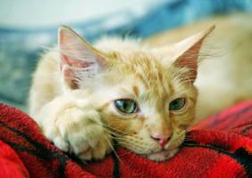 my boy cat Tiger