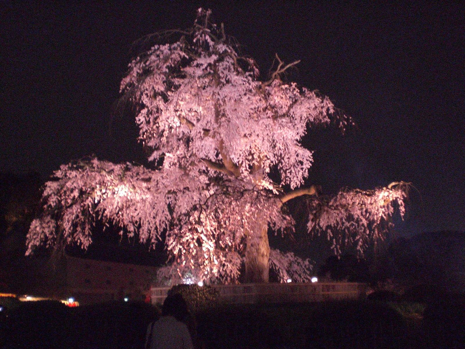 Cool Wallpaper Night Cherry Blossom - night_shot_of_cherry_blossoms_by_narmi89  Photograph.jpg
