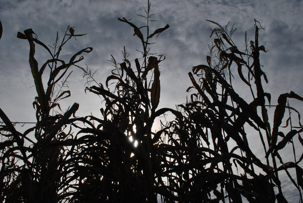 Corn Stalk Silhouette by KameleonKlik on DeviantArt
