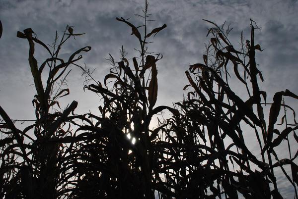 Corn Stalk Silhouette