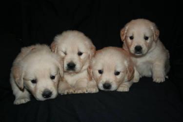 golden retriever my puppy's by ilovemyperchron1997