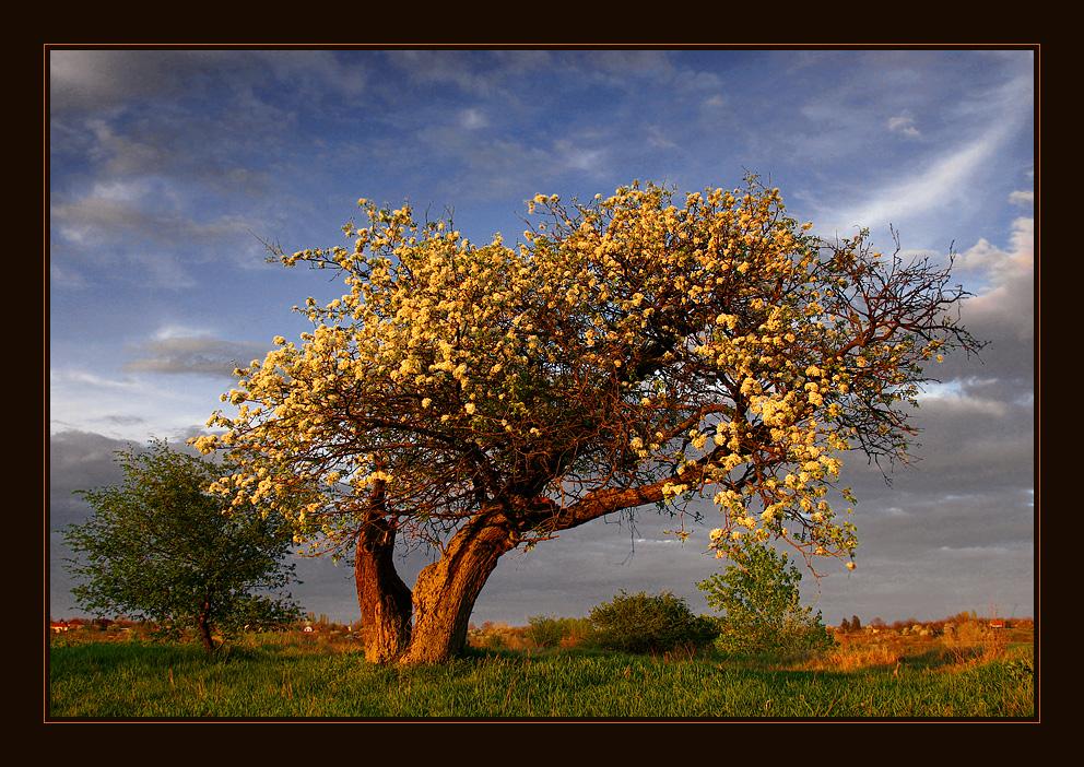 An old pear tree by SzekelyCsaba