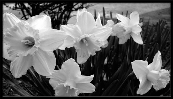 Black and white flowers by thepenname on deviantart black and white flowers by thepenname mightylinksfo