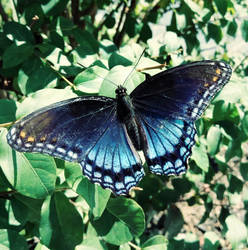 Red Spotted Purple Butterfly 2
