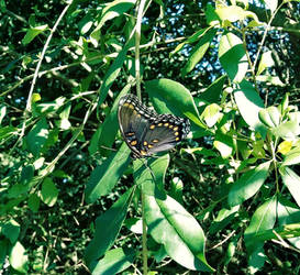 Another Red Spotted Purple Butterfly