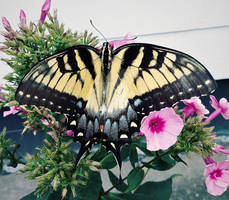 Another Female Swallowtail Butterfly