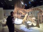 Spinosaurus mount at Nat Geo museum