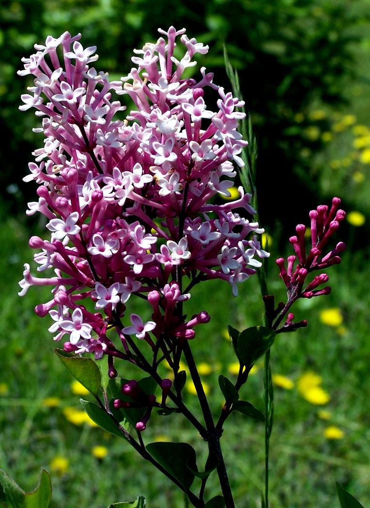 Pink Lilac by BachLynn23