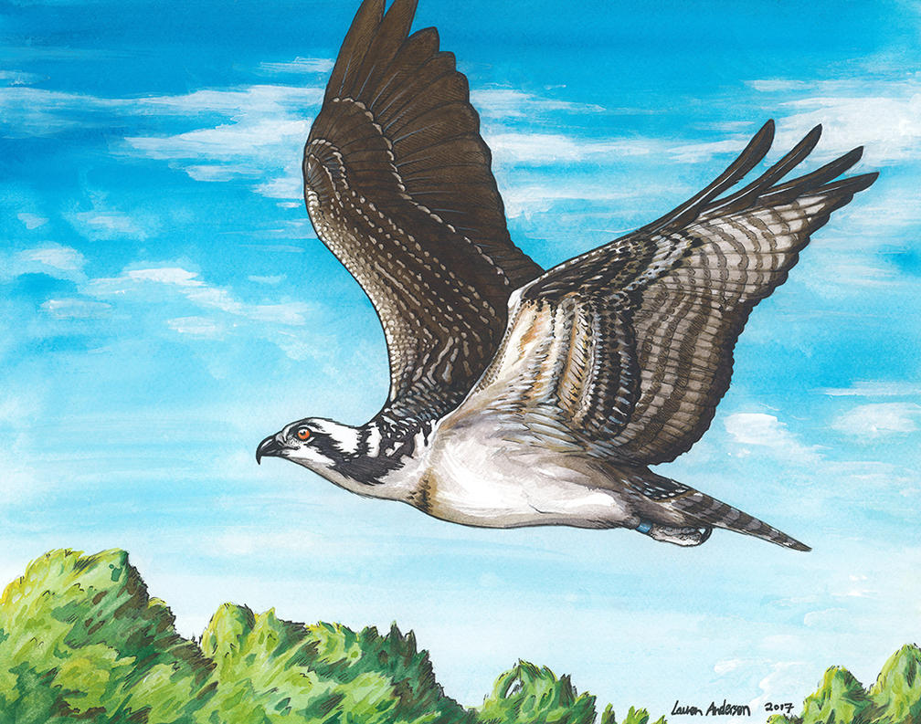 Kensington Osprey by Rhizae