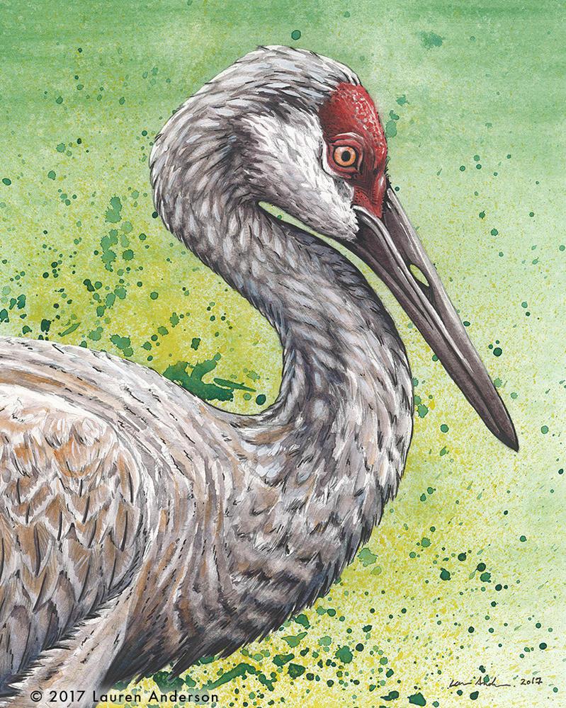 Sandhill Crane by Rhizae