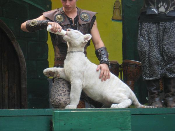 http://fc03.deviantart.net/fs25/i/2008/146/7/e/Baby_Albino_Tiger_by_SocialSuicide13.jpg