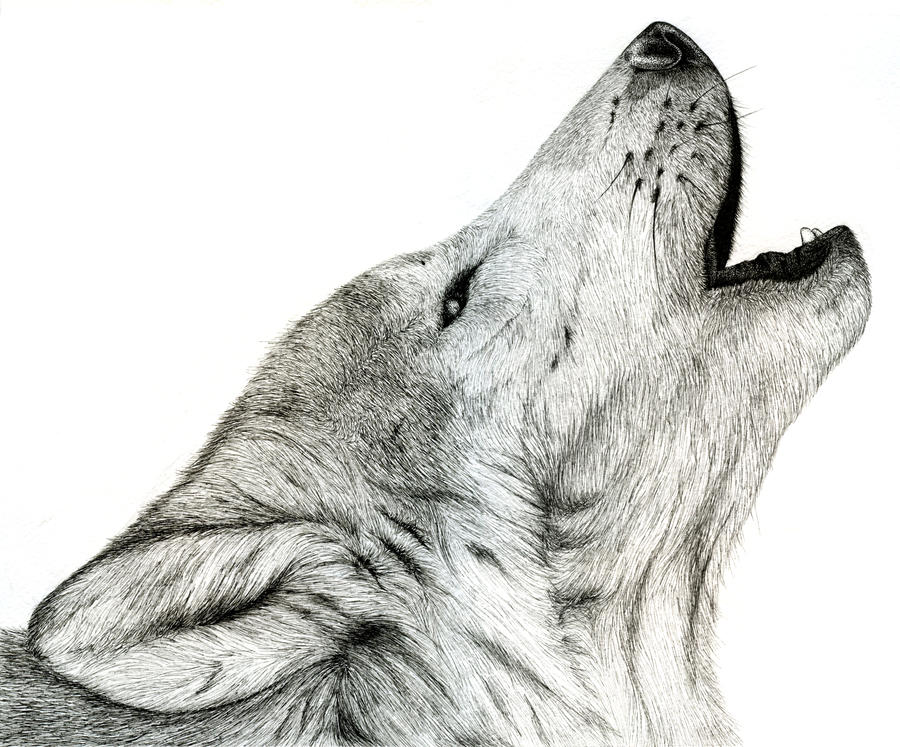 Black Wolf Howling Drawing Gray Wolf Howli...
