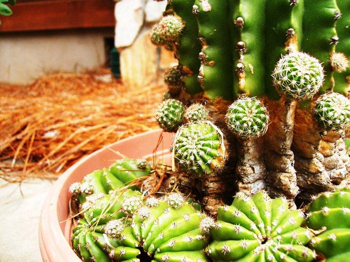 Flower Cactus wallpaper