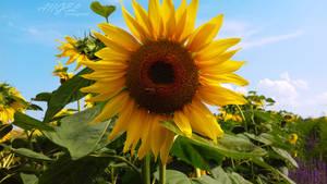 My perfect sunflower