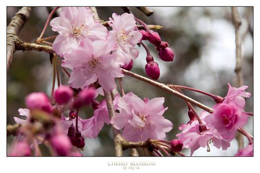 Cherry Blossom no.12