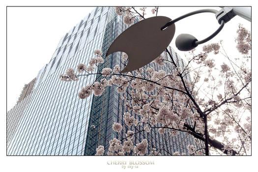 Cherry Blossom no.13