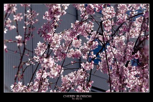 Cherry Blossom no.5