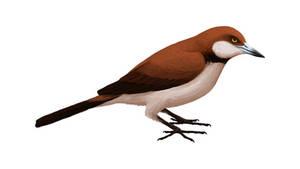 Zygodactylus luberonensis