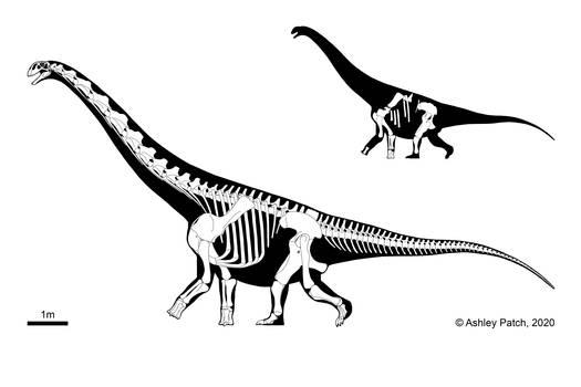 Diamantinasaurus matildae skeletal