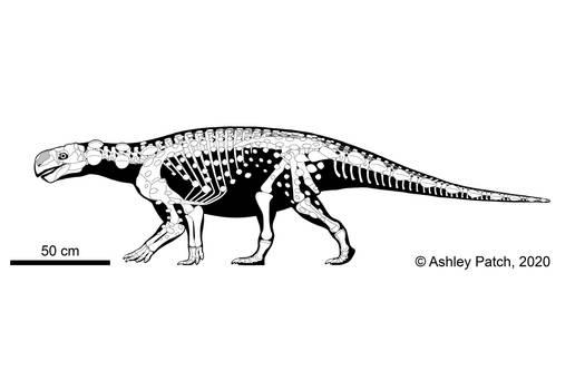 Kunbarrasaurus ieversi Skeletal
