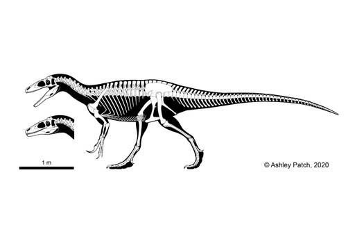 Australovenator wintonensis Skeletal