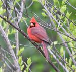 Cardinal Confidence