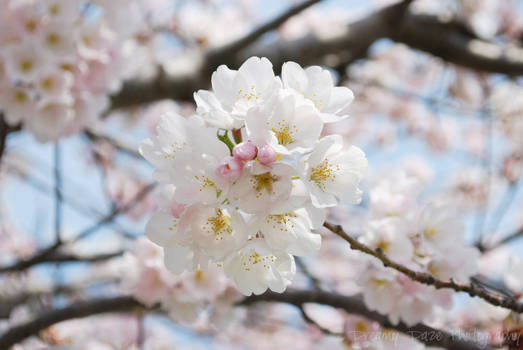 Cherry Blossoms in Toronto