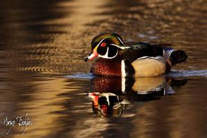 Golden Wood Duck by Robin-Hugh