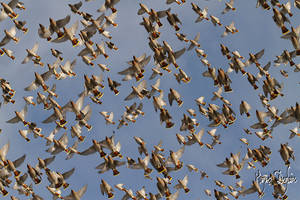 The Coloured Waxwing Flight