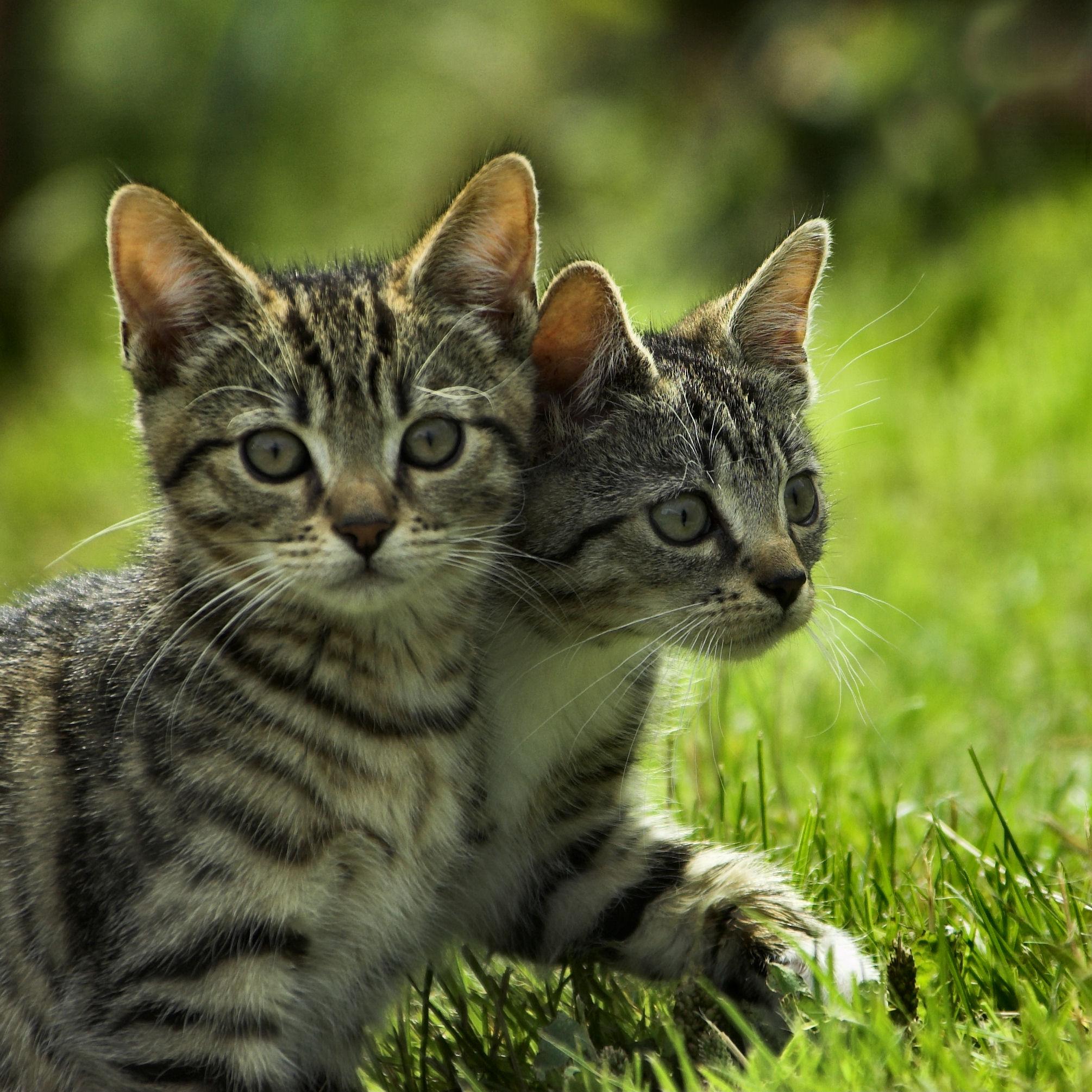 pheromone collar for cats
