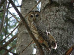 Banded Owl!