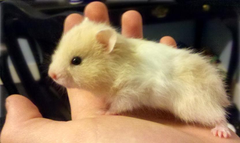 Teddy Bear Hamster 4 by cargbrockstock - 138.0KB