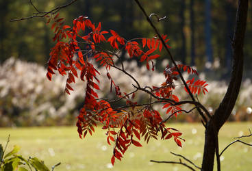 Red Leaves  32