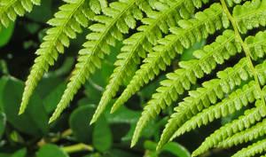 Ferns 5