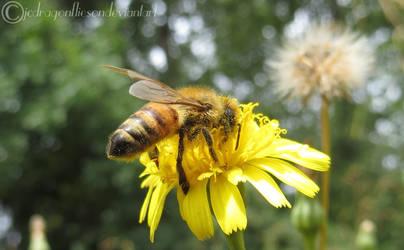 Honey Bee 25