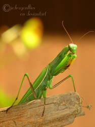 Praying Mantis 9