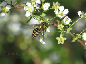 Hoverfly 10