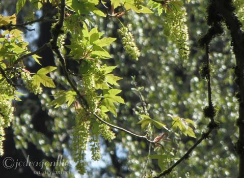 Maples 24