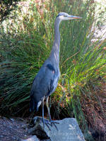 Great Blue Heron 6 by jcdragonflies