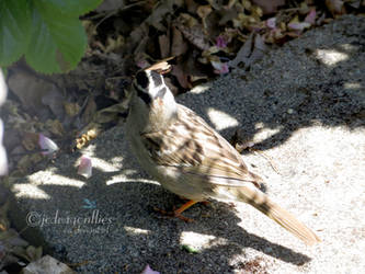 White-crowned Sparrow 4