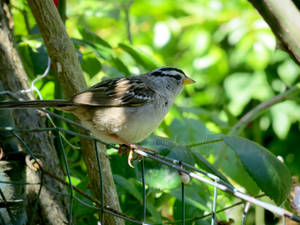 White-crowned Sparrow 5