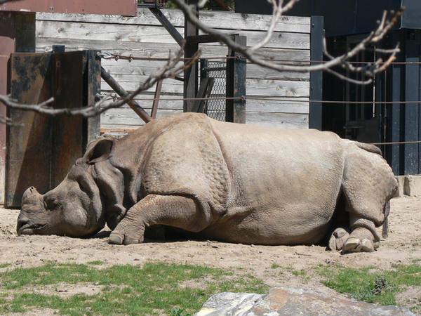 rhino sleeping - YouTube