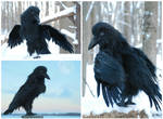 Dark-Raven Spirit Creature - Realistic Art Doll
