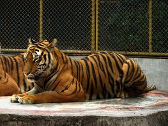 Tiger'02 by SheltieWolf