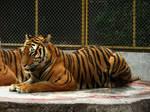 Tiger'02